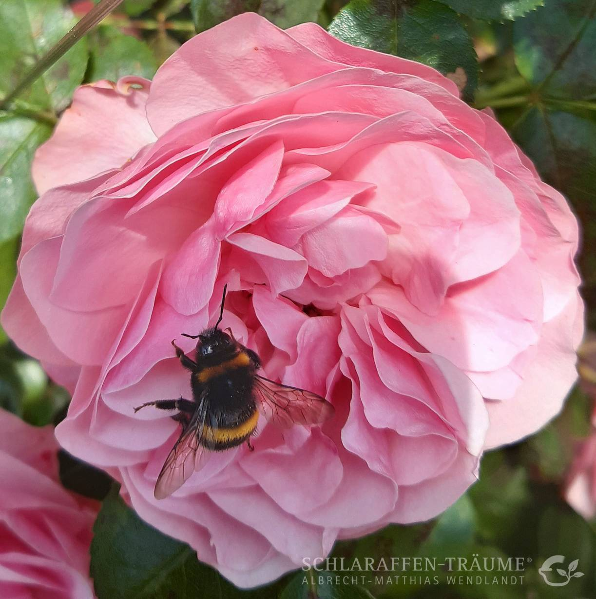 Hummel_Rose_WEB