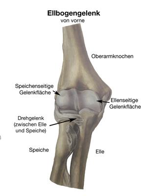 Ungewöhnlich Anatomie Oberarmknochen Zeitgenössisch - Anatomie Von ...